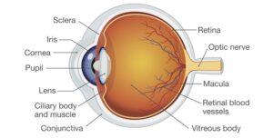 Graphic diagram of human eye anatomy